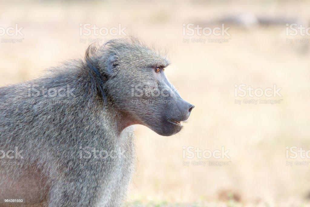 Babuíno adulto com fundo desfocado - Foto de stock de Andar royalty-free