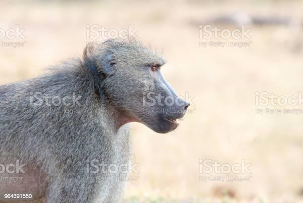 Foto de Babuíno Adulto Com Fundo Desfocado e mais fotos de stock de Andar