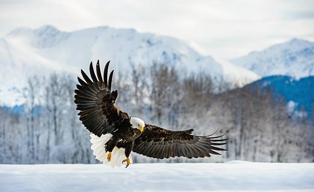 Adult bald eagle picture id638149244?b=1&k=6&m=638149244&s=612x612&w=0&h=n8ojsojdea85gfsqsbal9y98wf iirwgxt1ejb3xc6w=