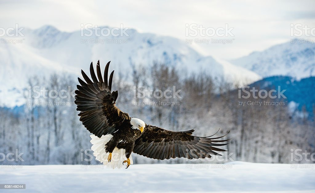 Adult Bald Eagle stock photo