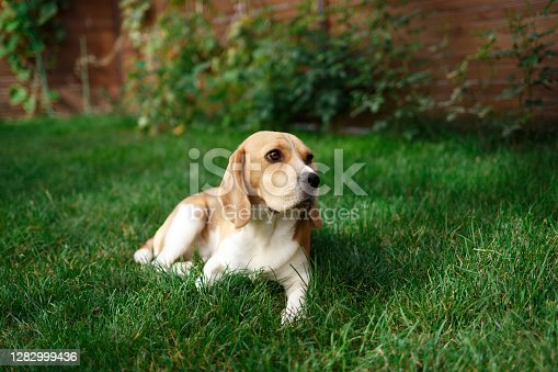 Adult beagle playing on the backyard lawn.