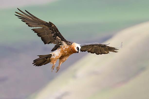 adult bearded vulture landing on rock ledge where bones are - aas eten stockfoto's en -beelden