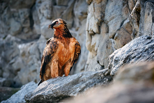 Adult bearded vulture (gypaetus barbatus) or Lammergeier sitting on the rocky. Animal in natural environment. stock photo