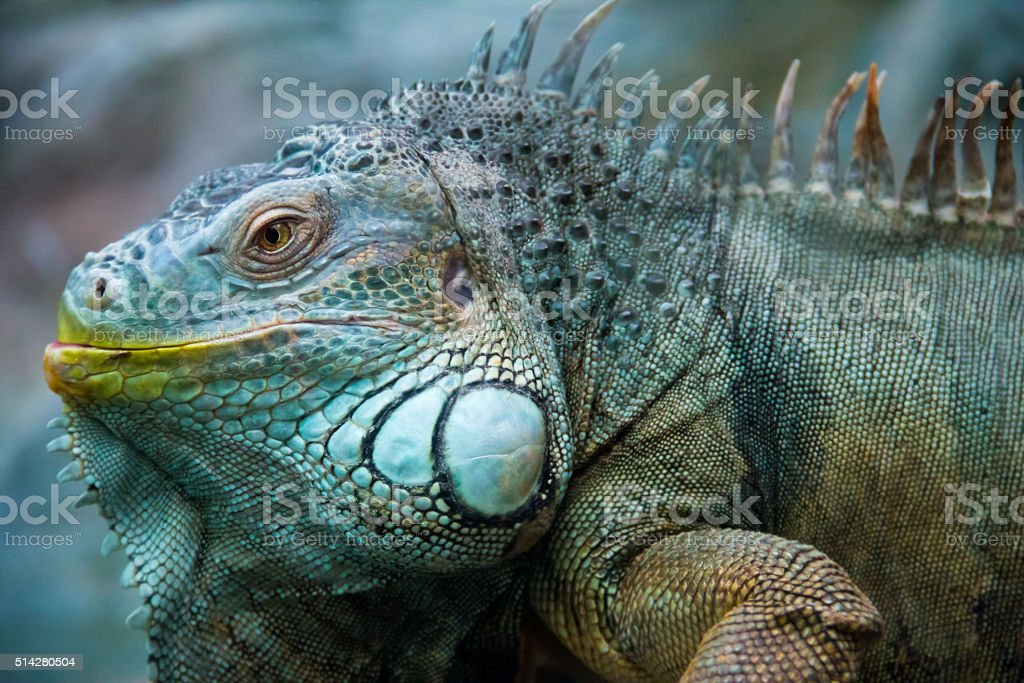 adult big iguana stock photo
