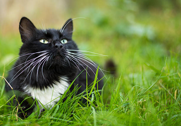 Adult black and white cat stock photo