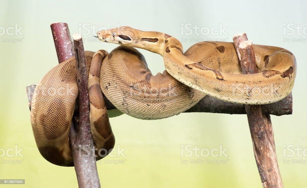 Adult Boa – zdjęcie