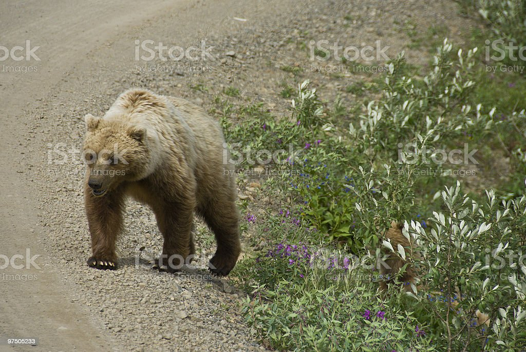 Adult Brown Bear on Dirt Road royalty-free stock photo