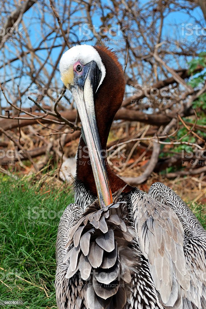 Adult Brown Pelican (Pelecanus occidentalis) Cleans Feathers royalty-free stock photo