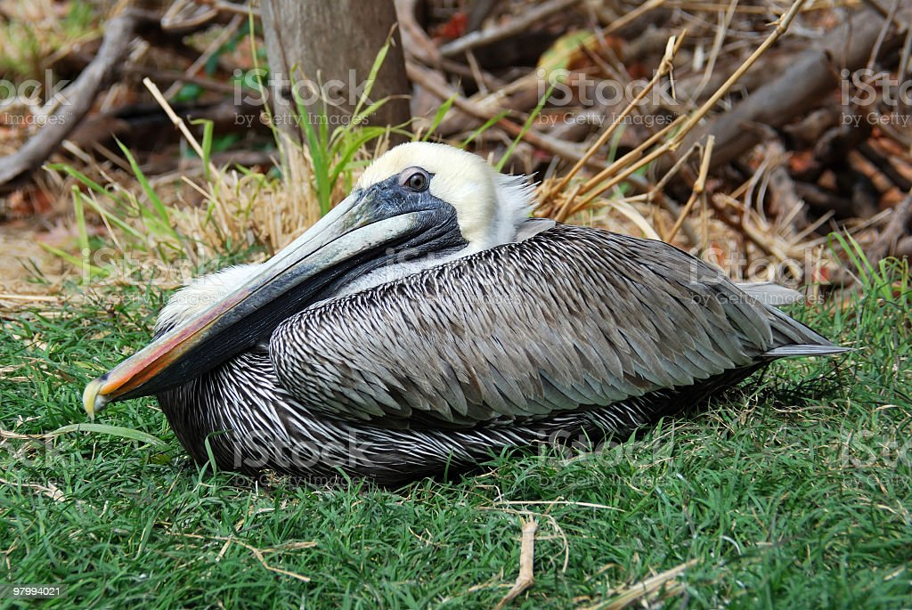Adult Brown Pelican (Pelecanus occidentalis) Sits Alone Resting royalty-free stock photo
