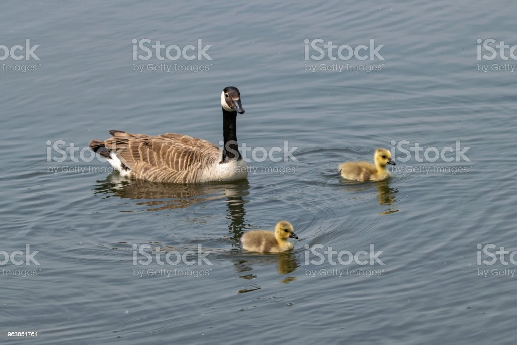 Adult Canada Goose and goslings - Royalty-free Agricultural Field Stock Photo