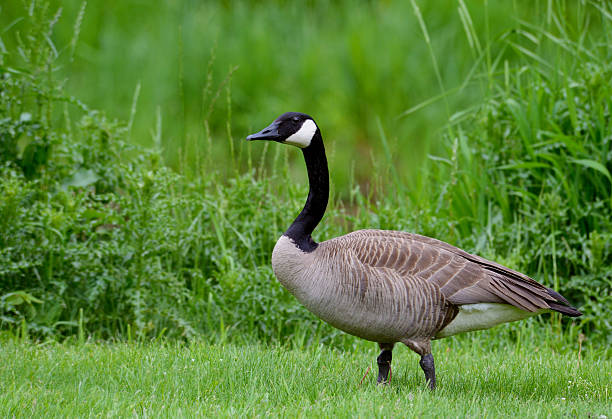 Adult Canada Goose in green grass. Canada Goose, green, canada goose stock pictures, royalty-free photos & images