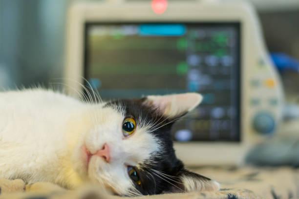 volwassen kat gecontroleerd tijdens de narcose - ketamine stockfoto's en -beelden