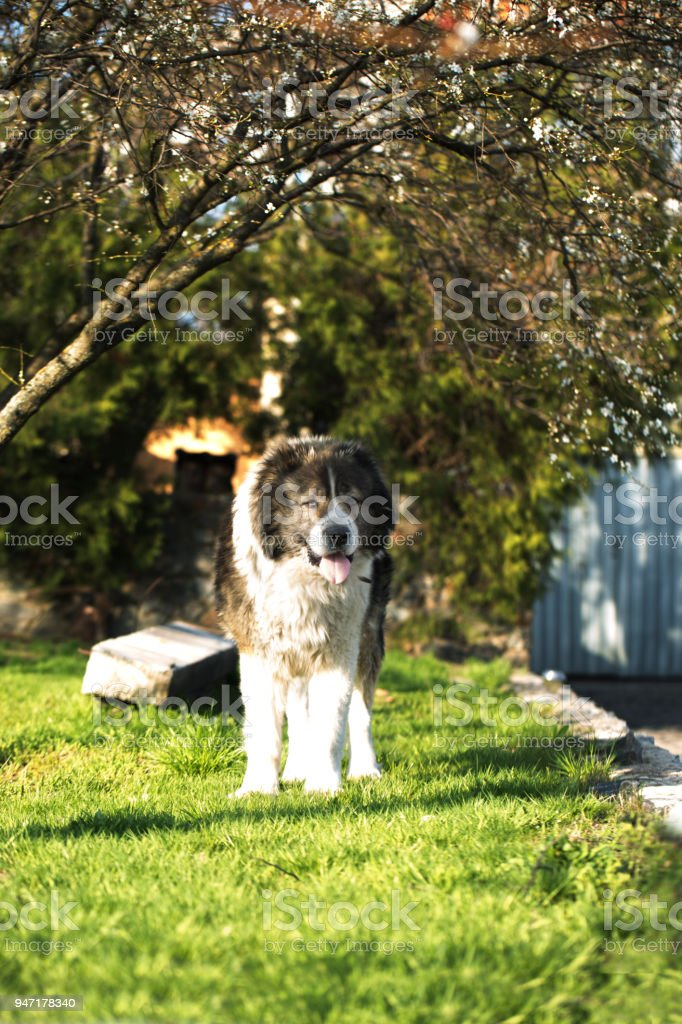 Adult Caucasian Shepherd dog in the yard. Caucasian sheepdog in sprig time stock photo