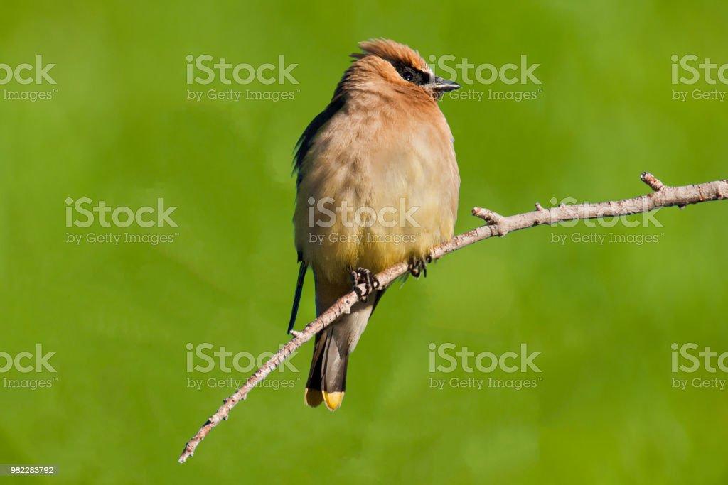 Adult Cedar Waxwing stock photo