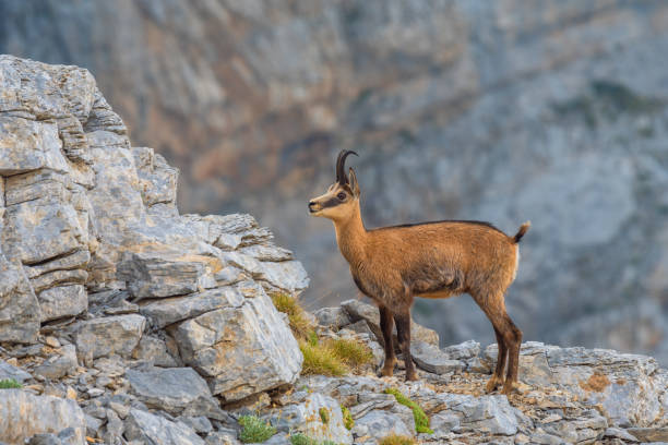 Adult Chamois (Rupicapra rupicapra) Olympus Mountains, Greece stock photo