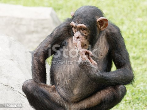 Adult chimpanzee sitting on green grass field with its finger point to its nose, funny animal ask me gesture.