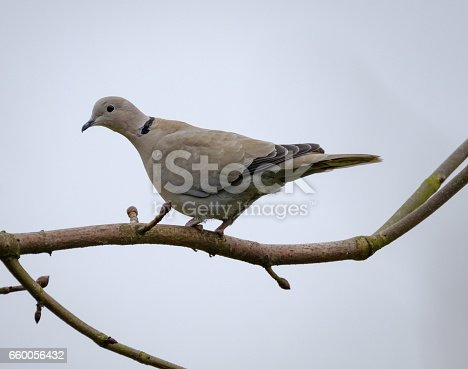 Adult collared dove seen perched on a large tree, as seen in a domestic garden. The bird is one of a small flock in the area with a nest.