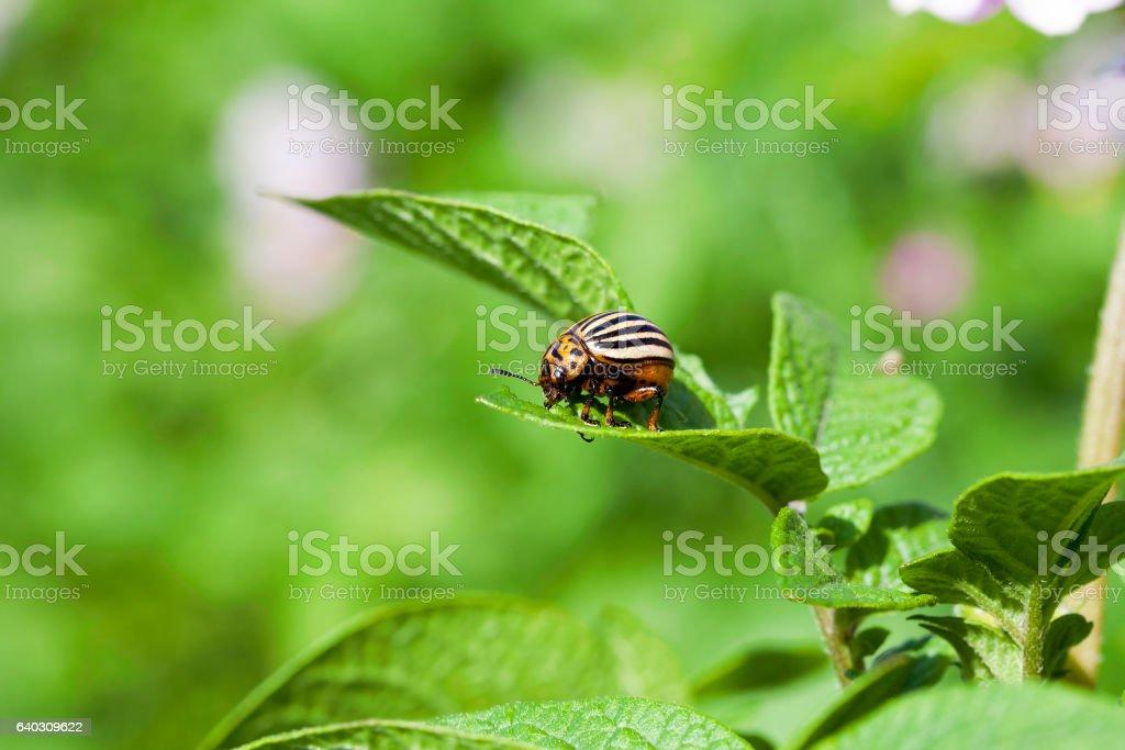 adult Colorado potato beetle stock photo