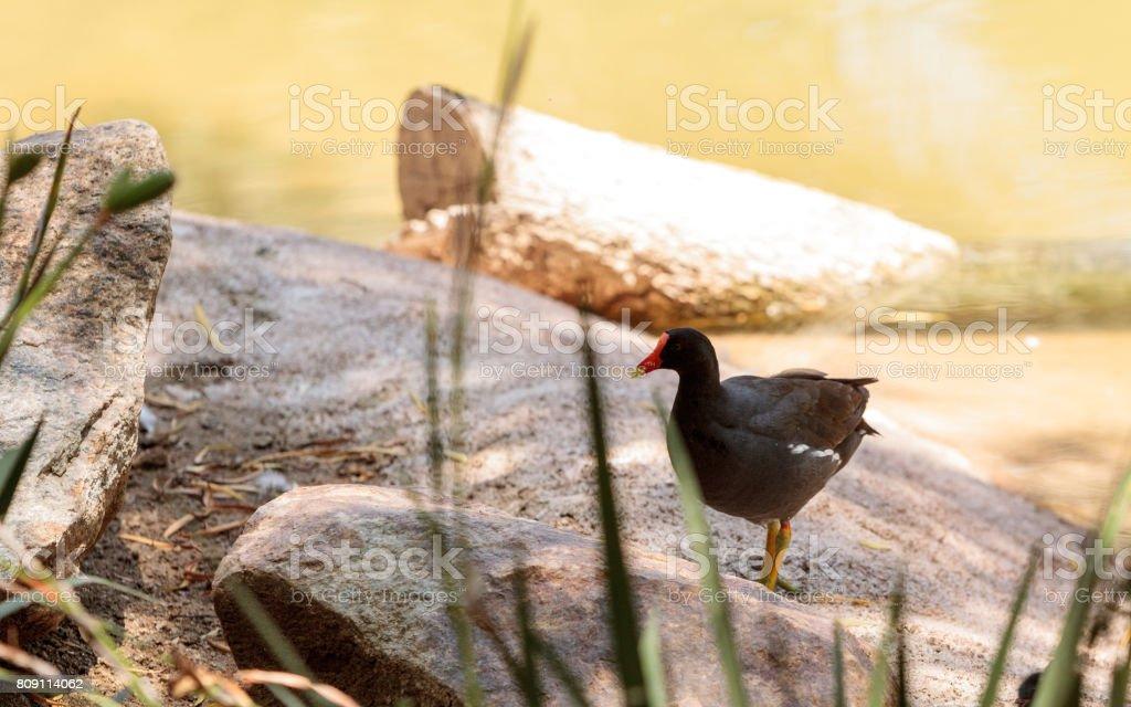 Adult Common gallinule Gallinula galeata stock photo