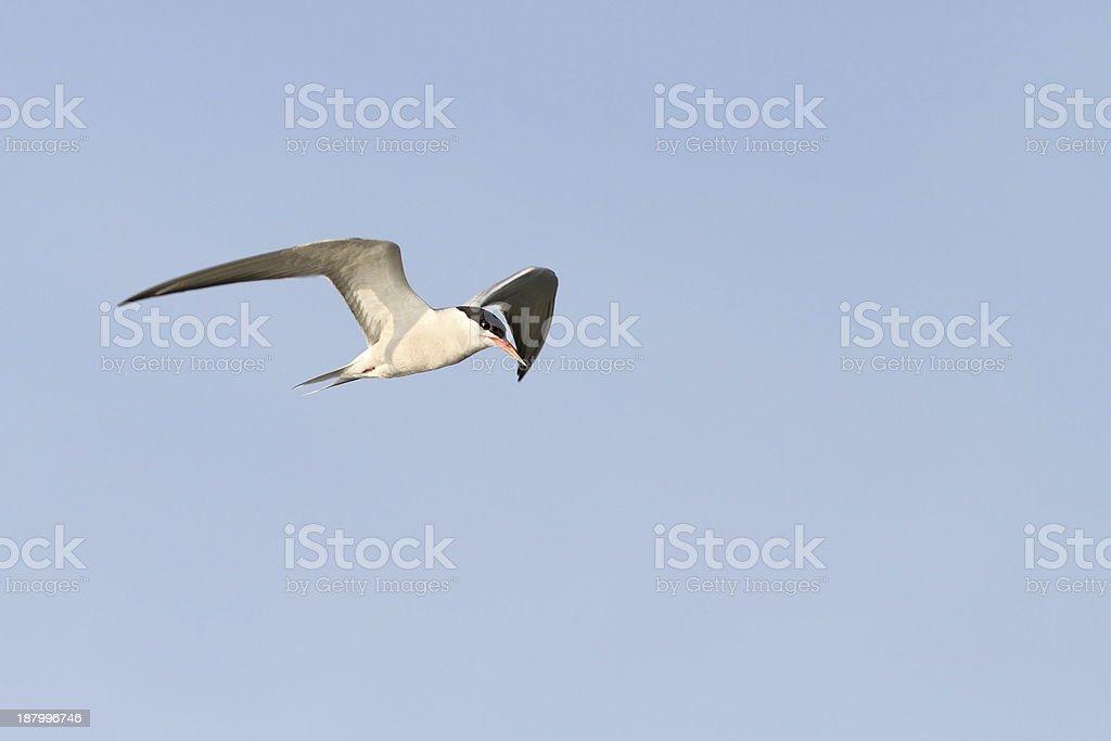 Adulto Andorinha-do-mar comum em voo - foto de acervo