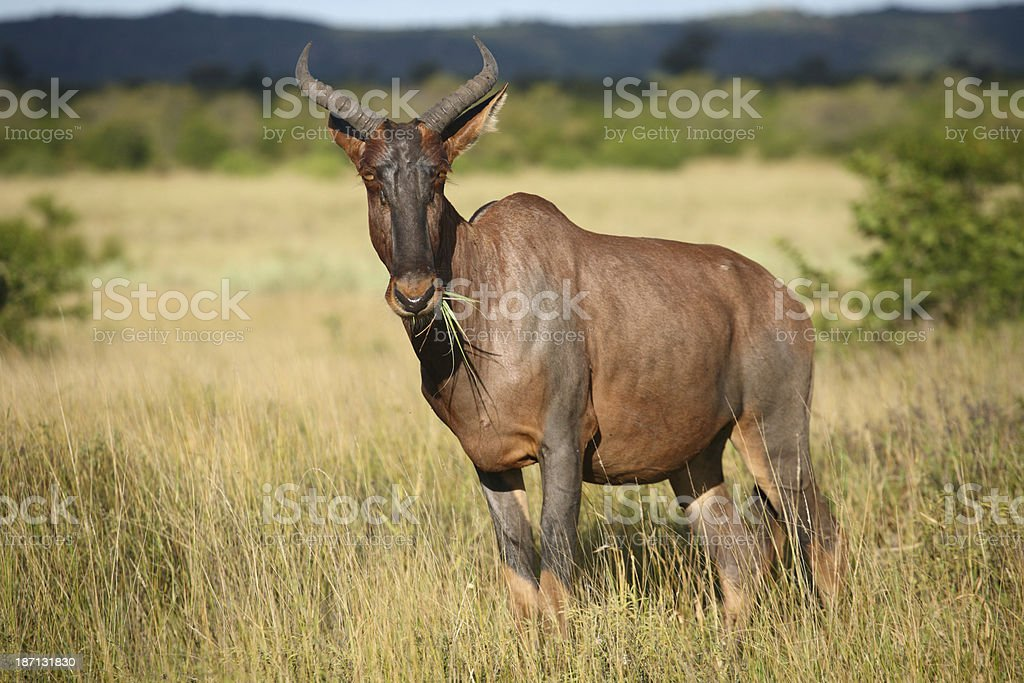 Adult common tsessebe antelope in thick grass, Damaliscus lunatus stock photo