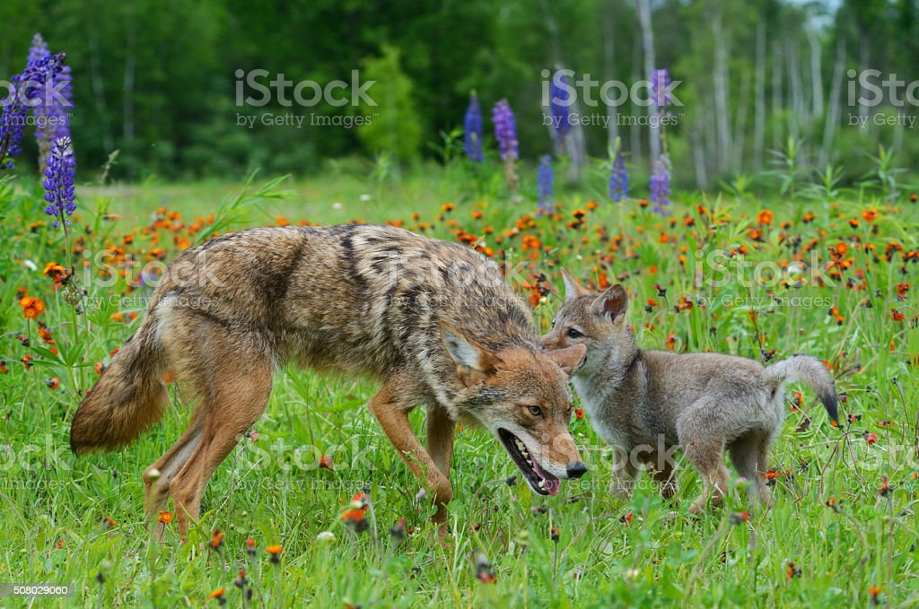 Adult Coyote playing with pup stock photo