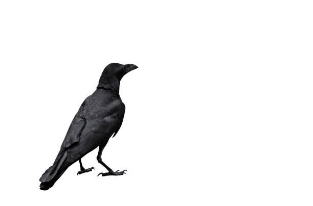 erwachsenen crow, isolated on white background, schneidepfad - saatkrähe stock-fotos und bilder