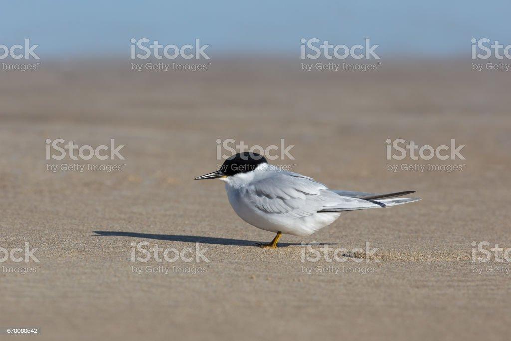Adulto Damara Tern descansando na praia - foto de acervo