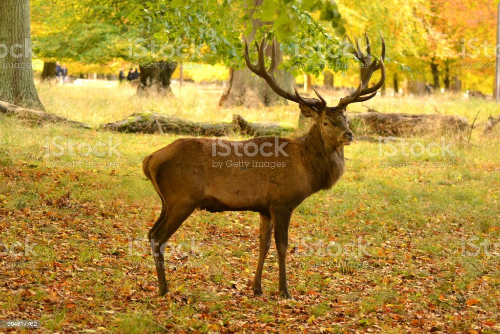 Adult deer standing royalty-free stock photo