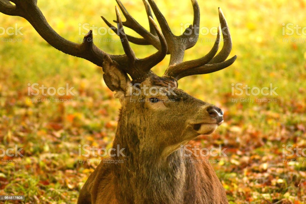 Adult deer with large antlers royalty-free stock photo