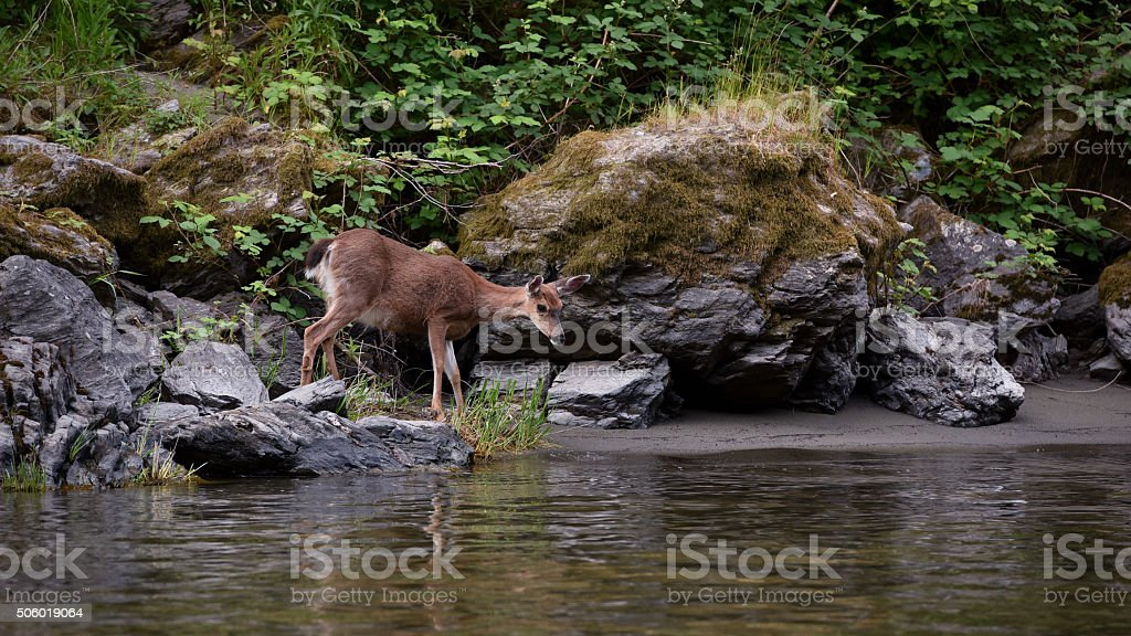 adult doe on riverbank looking into water stock photo