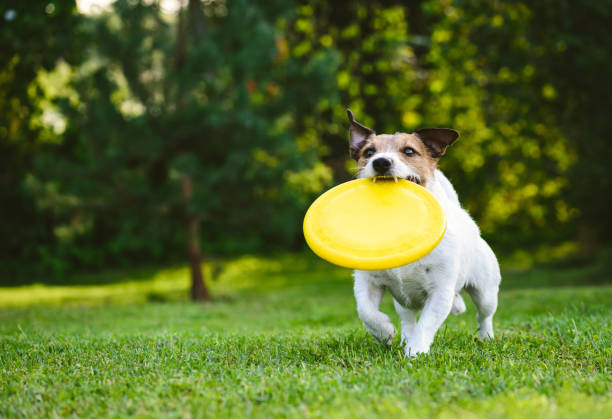 Adult dog playing catch and fetch with plastic disk outdoor Jack Russell Terrier carrying yellow disk in mouth plastic disc stock pictures, royalty-free photos & images