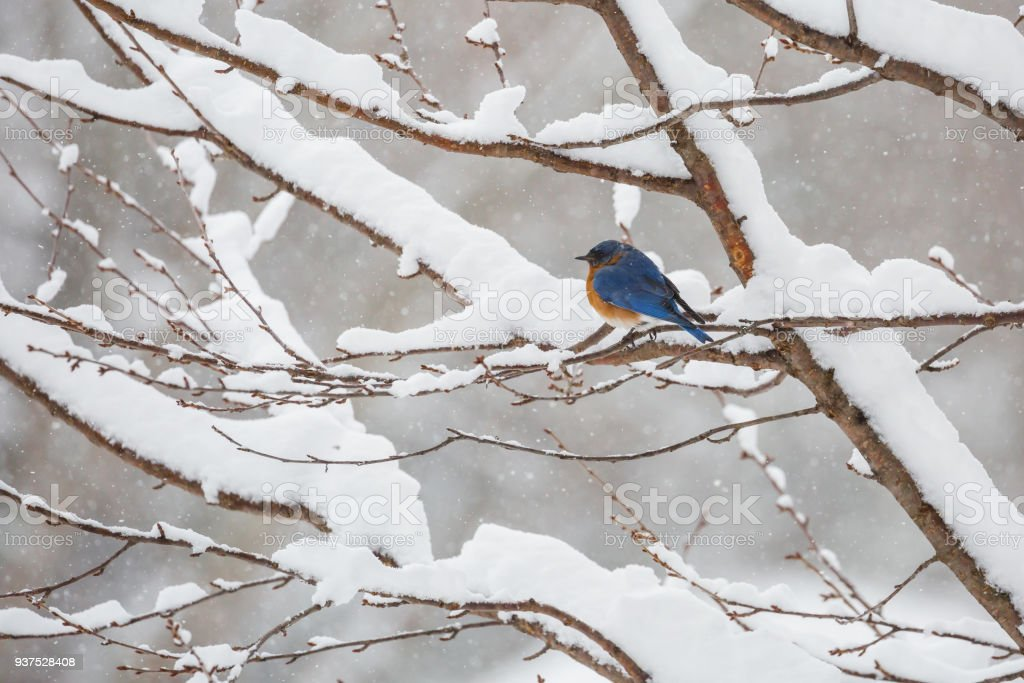 Adult Eastern Bluebird (Sialia sialis) In a Snowstorm stock photo
