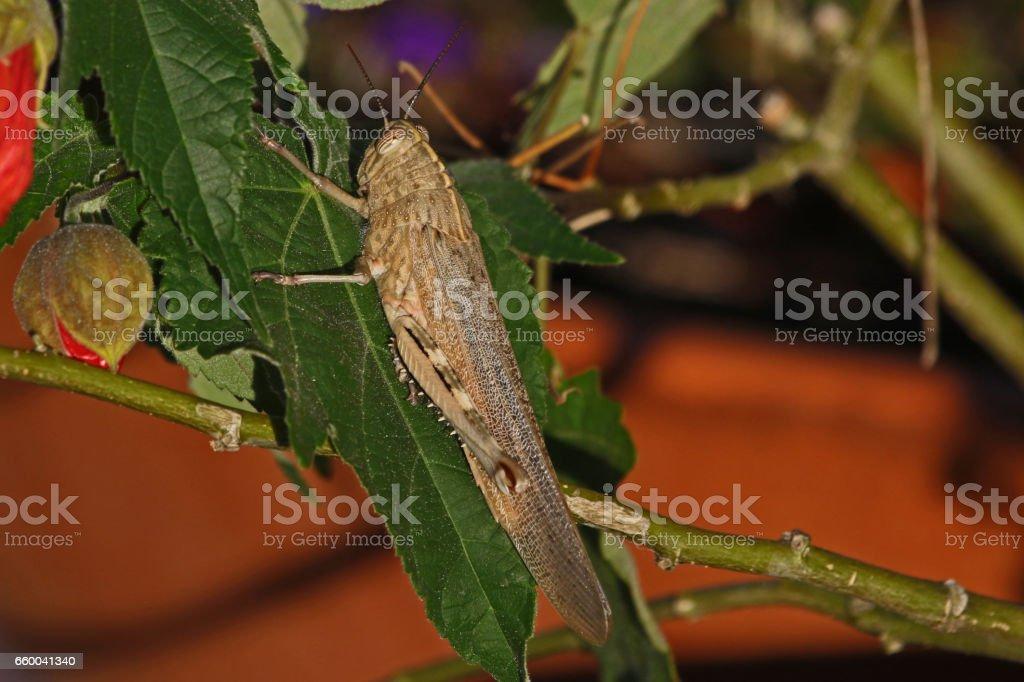 Adult Egyptian grasshopper on a hibiscus bush showing stripe on eye aegyptium anacridium stock photo
