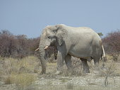 Side view close up of big adult African elephant ; partly endangered by big game hunting and chasing