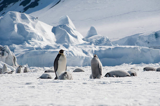 Adult Emperor with napping chicks A single adult Emperor Penguin, surrounded by several penguin chicks, Cape Washington, Antarctica emperor penguin stock pictures, royalty-free photos & images
