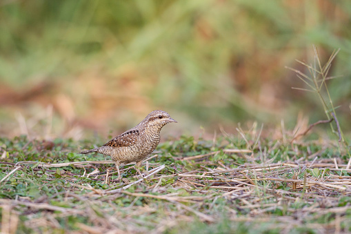 Adult Eurasian wryneck or northern wryneck, low angle view, side shot, foraging on the grassland in the morning in agriculture field of tropical dry forest, northeastern Thailand.