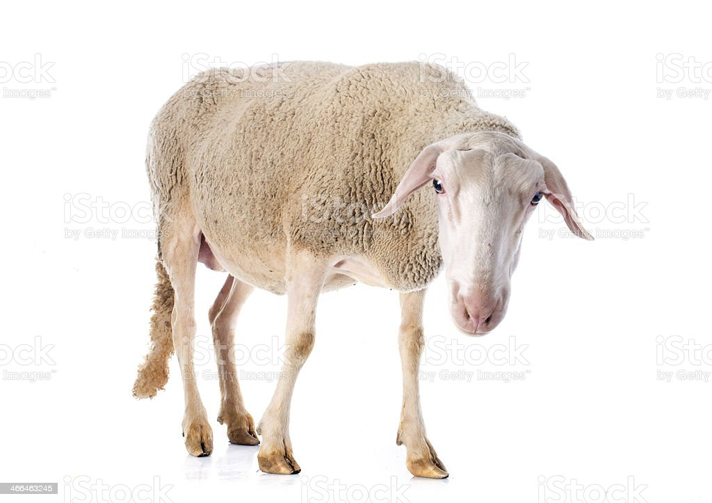 adult ewe stock photo