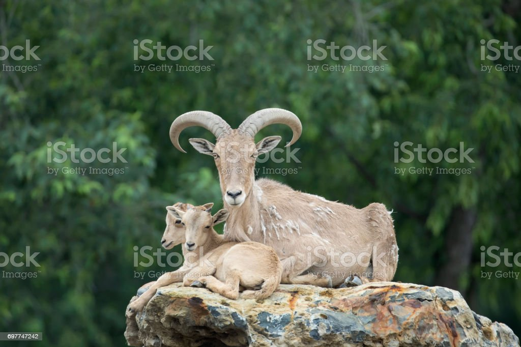 Adult Female Barbary Sheep (Aoudad) with Twin Babies stock photo