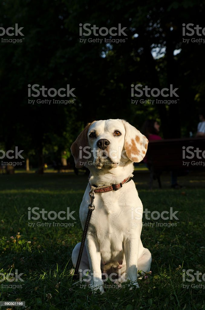 Adult female beagle sitting in a park royaltyfri bildbanksbilder