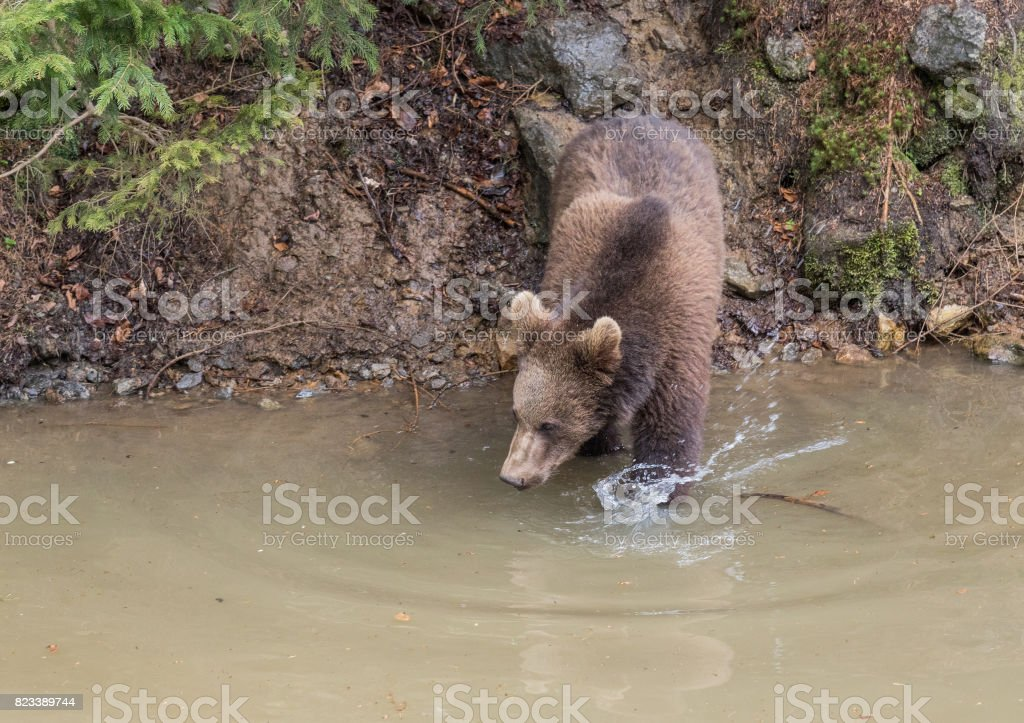 Adult female Brown bear jumps into the water. Swallow bears. Close-up...