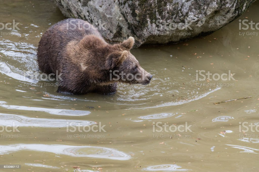 Adult female Brown bear jumps into the water. Swallow bears. Close-up view of the bears in the lake. Portrait of a brown bear. stock photo