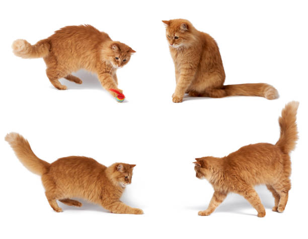 Adult fluffy red cat plays with a red ball cute animal isolated picture id1220448366?b=1&k=6&m=1220448366&s=612x612&w=0&h=huw5eqdzl2igtpcxfix64wxs wfadzuviwx9wx1gngo=