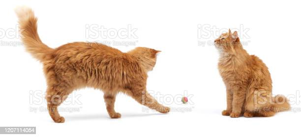 Adult fluffy red cat plays with a red ball on a white background picture id1207114054?b=1&k=6&m=1207114054&s=612x612&h=wnjwafxjavaydekf1ckt2myprms6kugqdbh0ocgu69y=