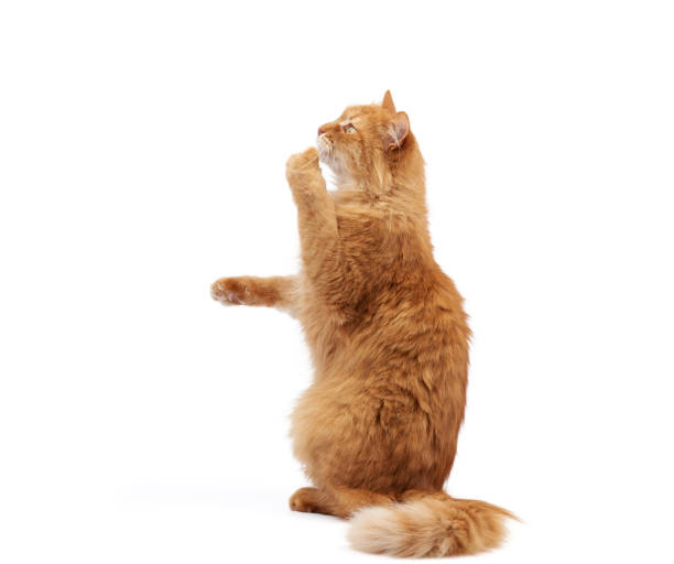 Adult fluffy red cat sits on its hind legs front paws pulls up picture id1205766471?b=1&k=6&m=1205766471&s=612x612&w=0&h=b3dsuvidsscqhtquovfgpsxeoa3viy0j45exebwc9uw=