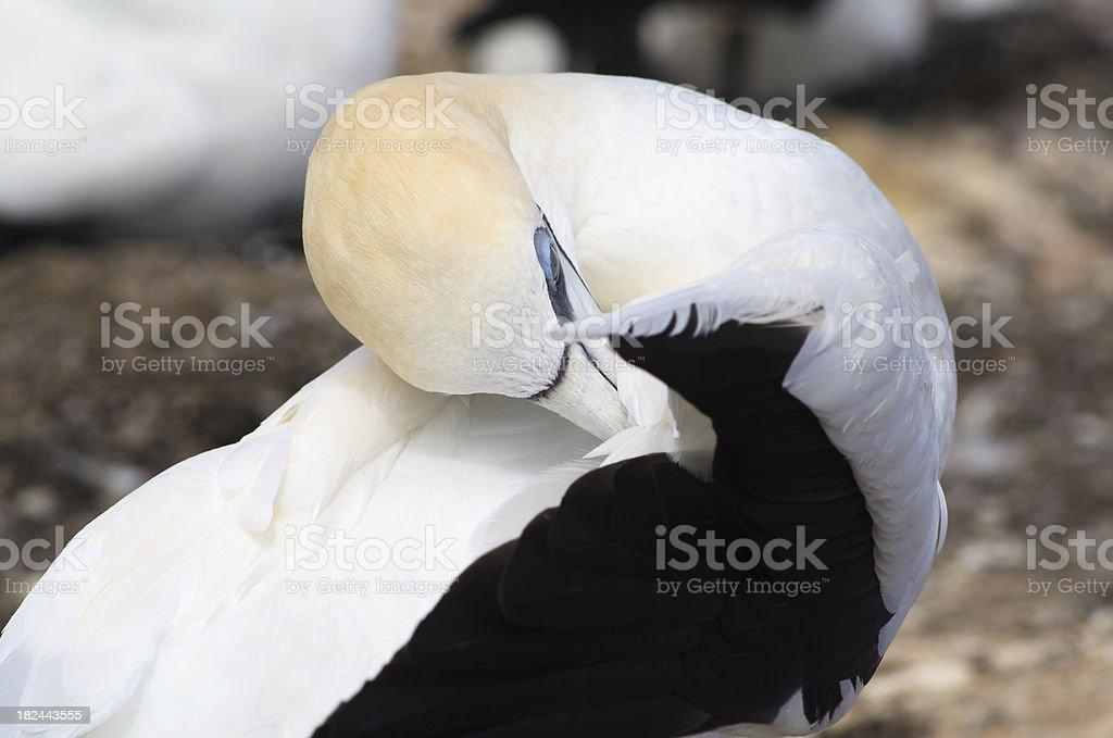 Adult gannet preens itself royalty-free stock photo