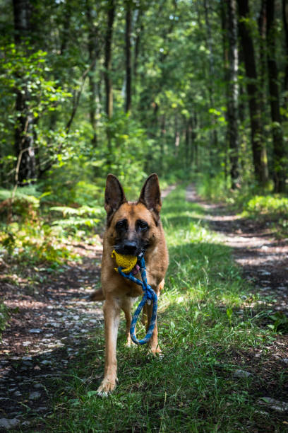 Adult german shepherd active dog exercises in forest helthy lifestyle picture id1167837281?b=1&k=6&m=1167837281&s=612x612&w=0&h=mqctz9kczuyp0hvjxcblbecadtqtyaz1whjw54ublj8=