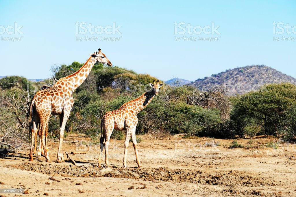 Adult giraffe and youngster  in the Madikwe Game Reserve in South Africa stock photo
