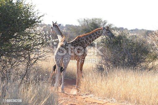 Adult giraffes in Kalahari, Namibia
