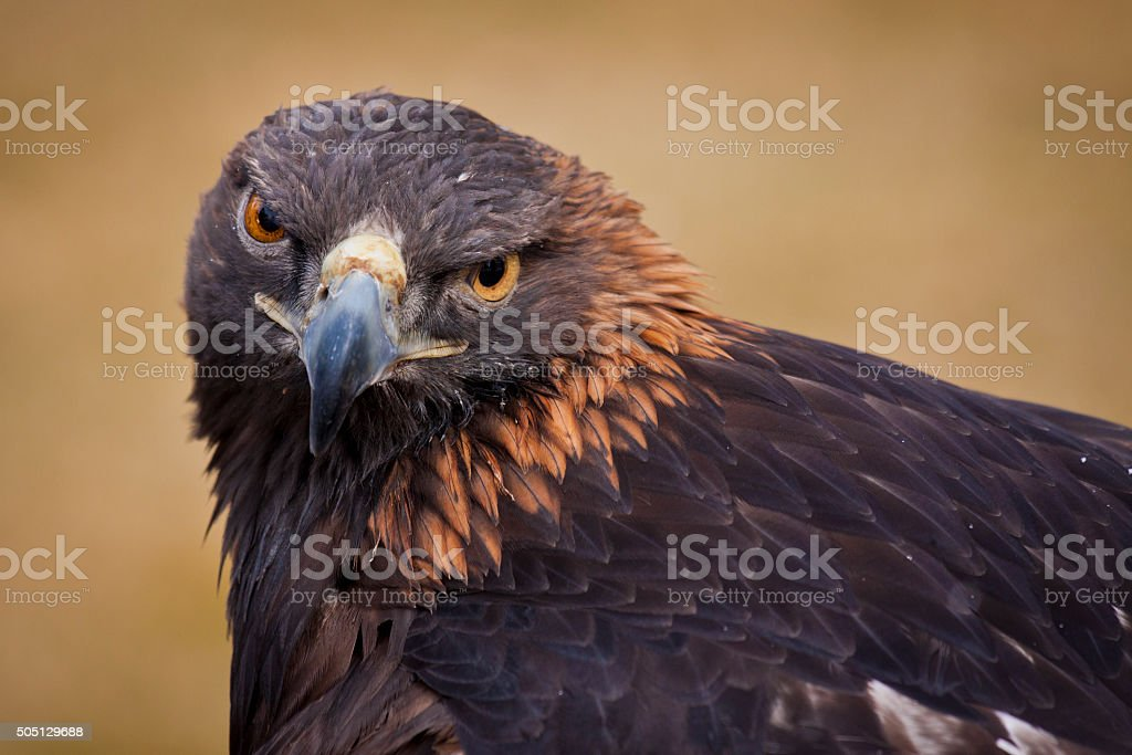 Adulto Golden Eagle - foto stock